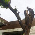 jasa-tebang-pohon